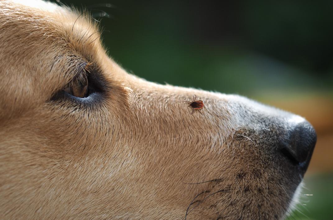 Lyme Disease Flyer dog